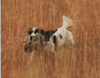 Ivanhoe Country Kennels: Field-Bred English Springer Spaniels